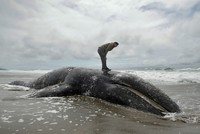 Officials ask Washington state waterfront owners to take dead whales