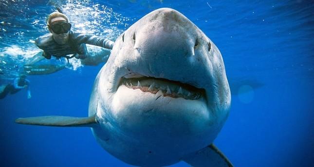 Группа дайверов встретила гигантскую белую акулу у Гавайских островов