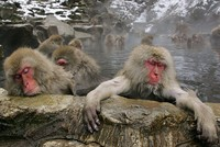 Spa therapy helps even monkeys, Japanese study says
