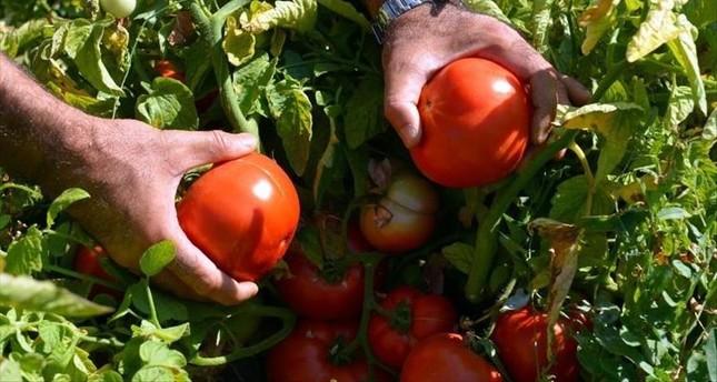 تركيا.. طريقة جديدة لزراعة الطماطم تزيد الإنتاج بنسبة 26%