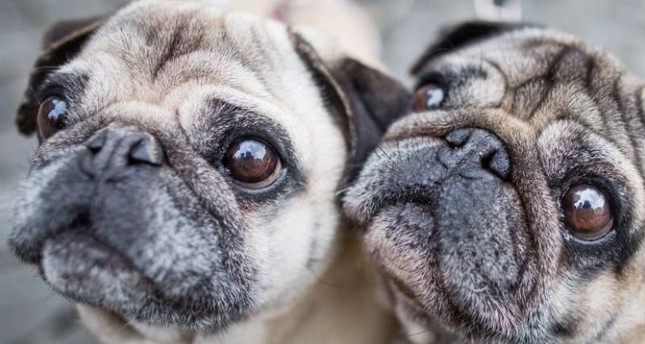 A warning is going around online after people say they were scammed by a person selling pugs online. (AFP Photo)