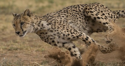 blockquote class=twitter-video data-lang=en p dir=ltr lang=enWhat happens when a fully-electric Formula E race car and the world's fastest land mammal, the cheetah, go head-to-head? Watch to find...