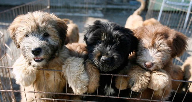Sapsaree puppies stand in their cage in Gyeongsan, South Korea October 29, 2010 (Reuters File Photo)
