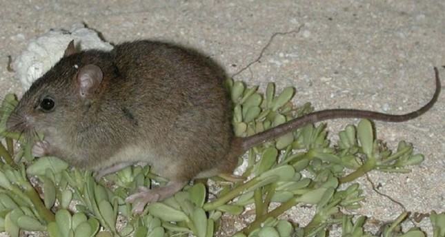 Rodent in Australia is first mammal extinction due to climate change