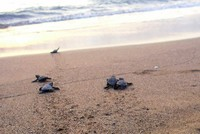 Nearly half-million baby turtles reached sea from Turkey's beaches in 2017