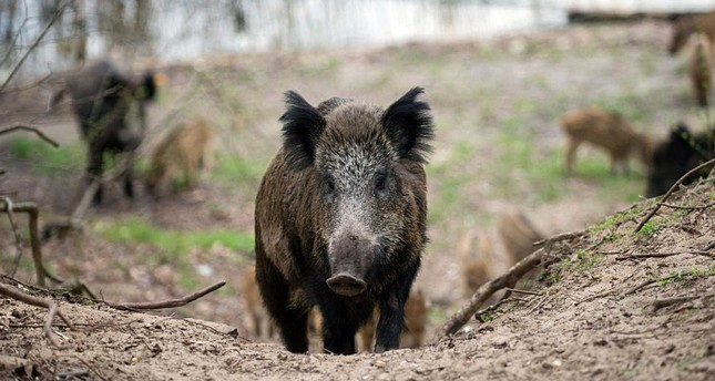 A wild boar (AFP Photo)