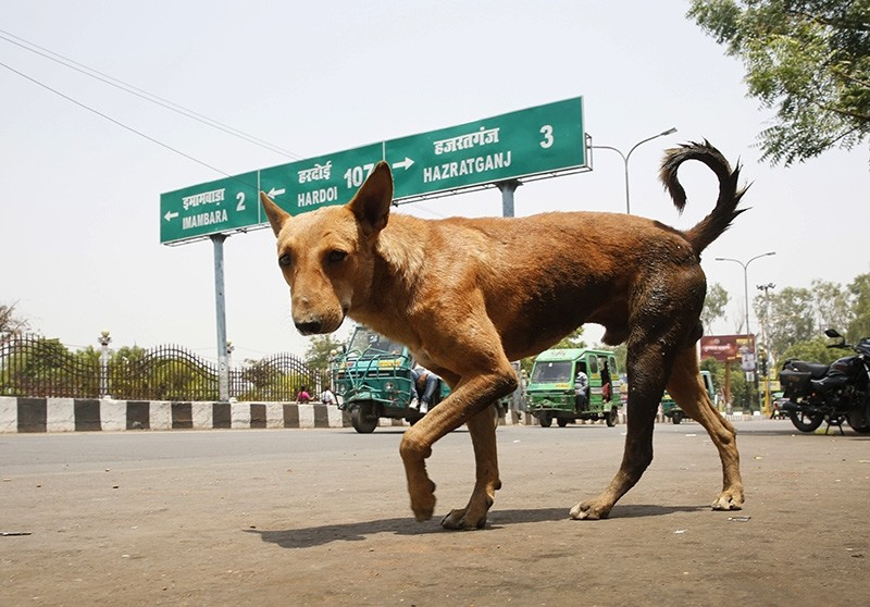 A stray dog walks on a road in Lucknow, in northern Indian state of Uttar Pradesh, Monday, May 7, 2018. (AP Photo)