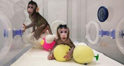 pRund 22 Jahre nach der Geburt des Klonschafs Dolly haben chinesische Forscher erstmals mit derselben Methode Affen geklont./p  pDie zwei Javaneraffen Zhong Zhong und Hua Hua seien lebendig...
