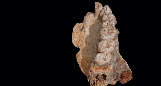 The left maxilla of human remains from Misliya Cave in Israel, the oldest remains of our species Homo sapiens found outside Africa, is shown in this handout photo released on January 25, 2018. (Reuters Photo)