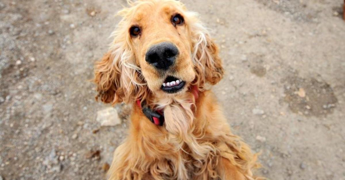 A dog awaits its new owner at an animal shelter. (DHA)