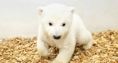 Berlin zoo's baby polar bear gets first checkup