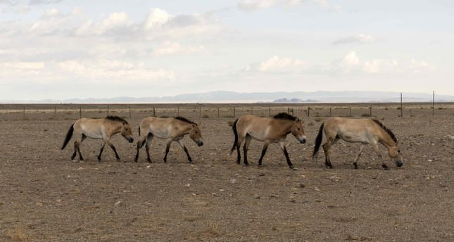 Four Wild Przewalski horses are seen in the Takhin Tal reserve in southwest Mongolia.