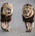 جنوب أفريقيا.. 14 أسدا يهربون من محمية طبيعية