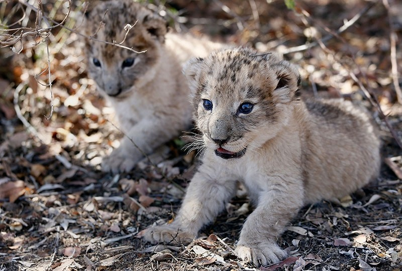 The world's first lion cubs born through artificial insemination, Victor and Isabel, rest under a tree at the Ukutula private game conservation centre, northwest of the South African capital Pretoria, on Sept. 14, 2018. (AFP Photo)
