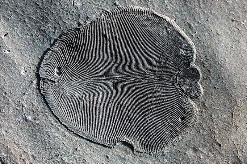 This undated image courtesy of The Australian National University shows, organically preserved ,Dickinsonia, fossil from the White Sea area of Russia. (AFP Photo)