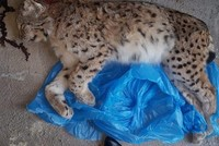 Illegal hunters kill endangered lynx in eastern Turkey, cause uproar