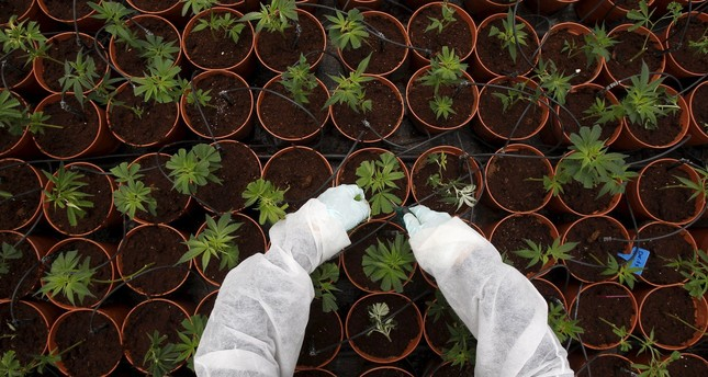 A worker tends to cannabis plants at a plantation near the northern Israeli city of Safed, in this June 11, 2012 file picture. (REUTERS Photo)