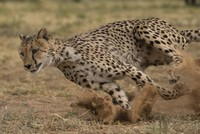 Who won?: Fully-electric Formula E car races cheetah, nature's fastest land mammal