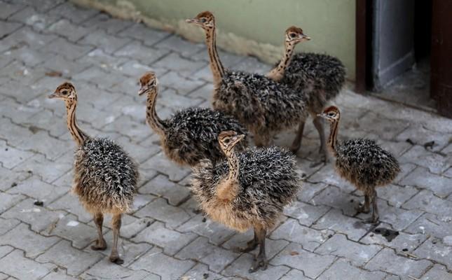 6 ostrich chicks hatch at Bursa Zoo in northwest Turkey