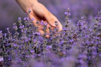 Lavender, a natural remedy for insomnia, pain