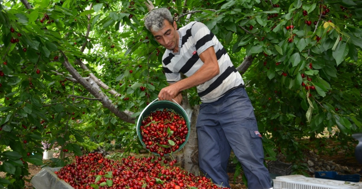 Turkey exported 65,000 tons of cherries between Jan. 1 and July 10, 2019, generating $155.7 million in revenue.