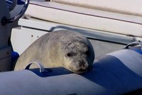 New plan to protect monk seals in Turkish waters being introduced