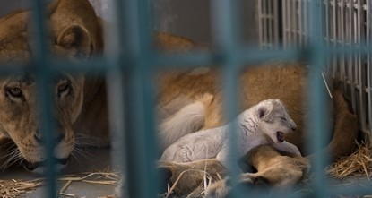 pA lion cub was born just hours after its mother Dana was released into a wildlife reserve in Jordan after being rescued from a defunct zoo in war-torn Syria./p