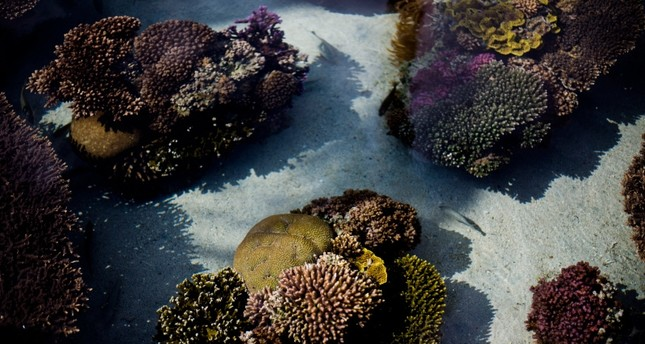 healthy corals are exhibited at the marine observatory in the Red Sea city of Eilat, southern Israel (AP Photo)