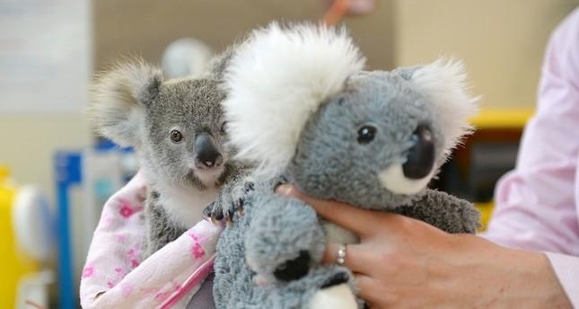 في أستراليا: حيوان كوالا يتيم يجد العزاء في دبدوب