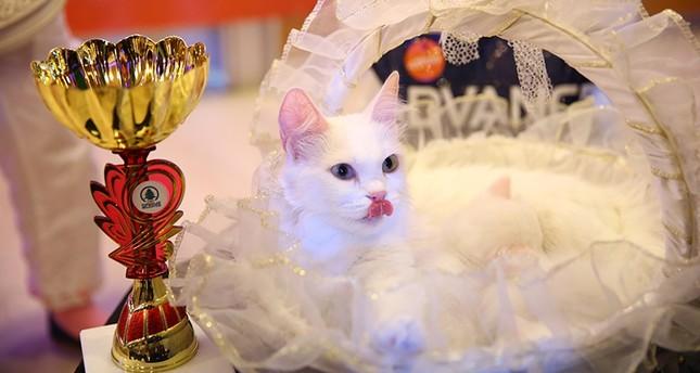 تركيا تستضيف مهرجان ملكة جمال القطط