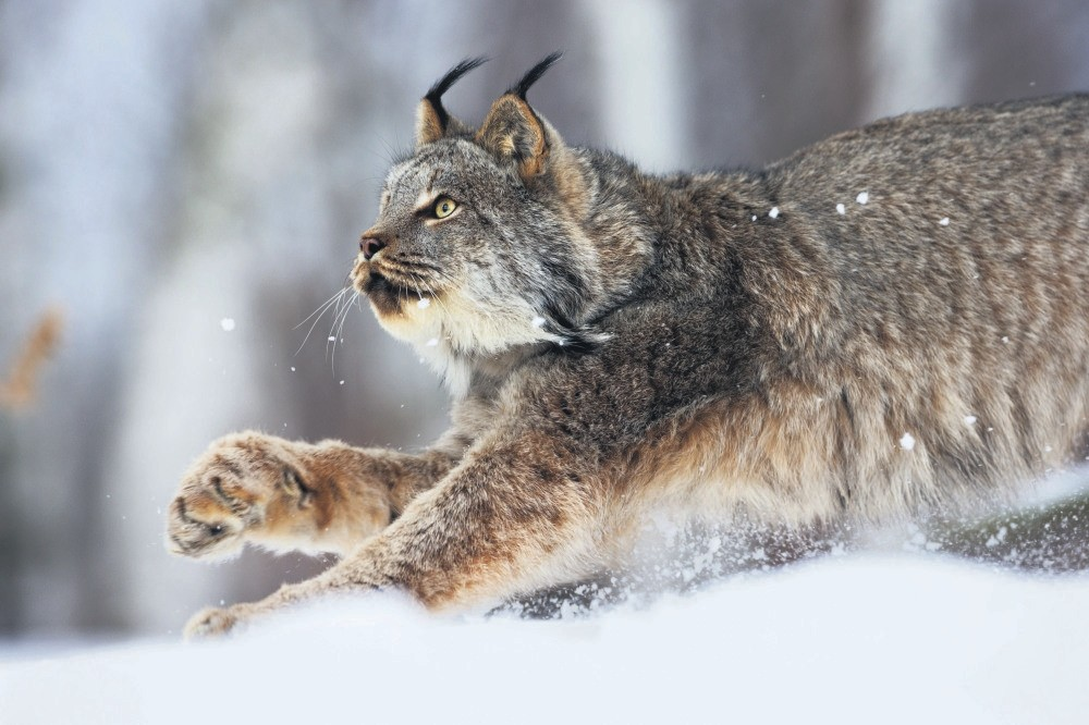 DNA samples of wild animals like lynx will be collected in the gene bank.