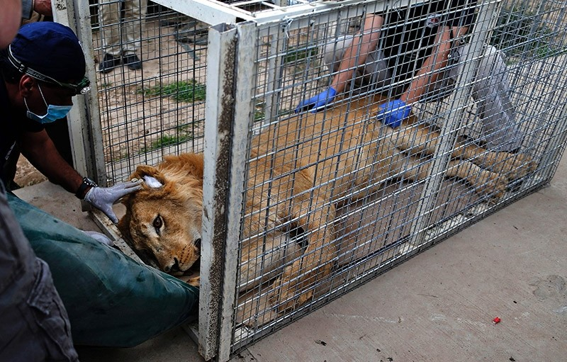 Lula the bear and Simba the lion, the only survivors of the war ravaged zoo, were finally evacuated to Jordan by a team of vets on April 10, 2017. AFP Photo