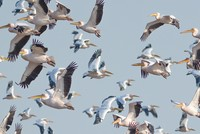 First 'pelican census' to be held in Turkey's Bursa