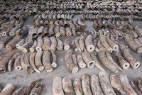 Singapore seizes record 9 tons of elephant tusks, 12 tons of pangolin scales