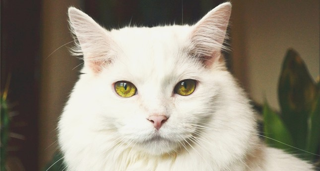 Angora cat beauty pageant in Ankara: May the puffiest win