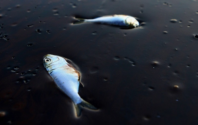 Poggy fish lie dead stuck in oil in Bay Jimmy near Port Sulpher, Louisiana June 20, 2010. The BP oil spill has been called one of the largest environmental disasters in American history. (Reuters Photo)