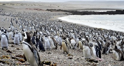 pMore than a million penguins have traveled to Argentina's Punta Tombo peninsula during this year's breeding season, drawn by an unusual abundance of small fish./p