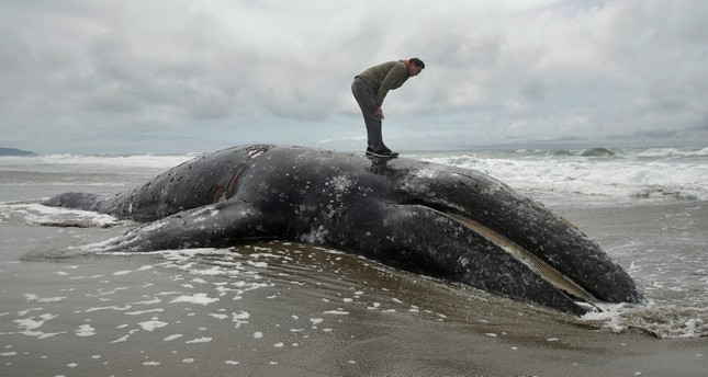 In this May 6, 2019 file photo, Duat Mai stands atop a dead whale at Ocean Beach in San Francisco.  (AP Photo)