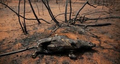 Bolivien: Über 2 Mio. Wildtiere bei Bränden gestorben