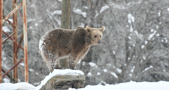 Feeding on garbage, bears in Kars delay hibernation
