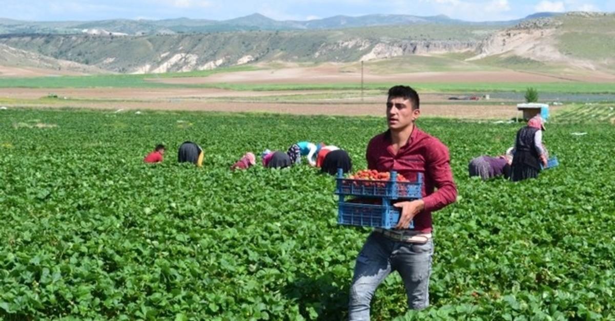 A seasonal worker picks strawberries in central Turkey's Aksaray. (DHA Photo)