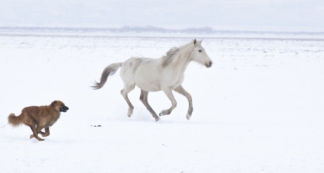 A portrait of nobility: Anatolian horses gallop on snow-covered Mount Erciyes