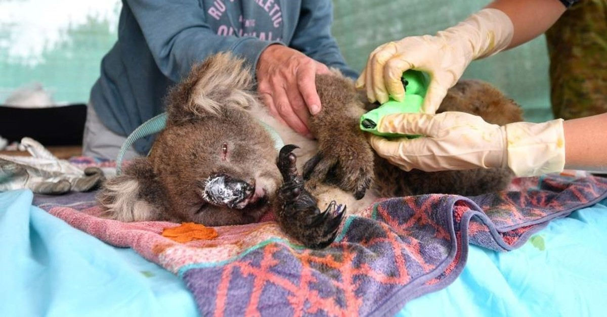 Vets and volunteers treat koalas at Kangaroo Island Wildlife Park on Kangaroo Island, southwest of Adelaide, Australia, Jan. 10, 2020. (Reuters Photo)