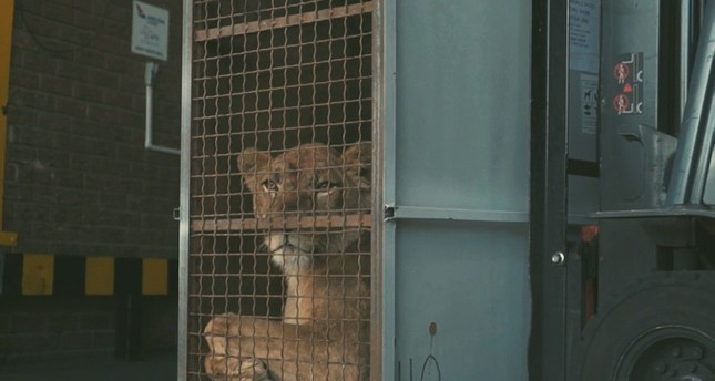 A transport cage with one of the lions moving towards the airplane loading area on a forklift. (AA Photo)