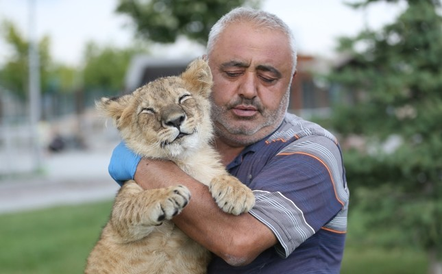 Cub rejected by mother lion embraced by Turkish zookeeper