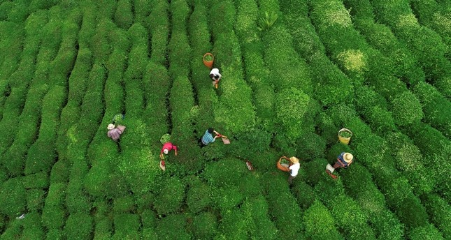 إقبال سياحي كبير على زيارة حقول ومصانع الشاي بمنطقة البحر الأسود شمالي تركيا