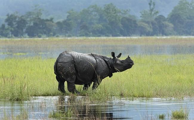 In this photo, a one-horned Rhinos wades through flooded Kaziranga national park in Kaziranga, 250 kilometers (156 miles) east of Gauhati, India, July 8, 2017. (AP Photo)