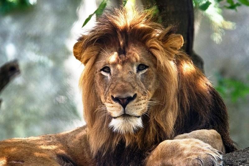 This undated file photo shows 10-year-old male lion Nyack. (IHA Photo)