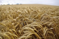 Devastating wheat disease may re-emerge in Britain and Europe, scientists say