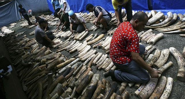Workers arrange confiscated elephant ivory tusks at a rescue center in Manila, Philippines (Reuters Photo)